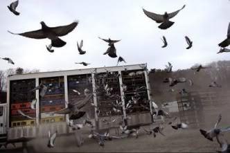 pigeon-race-liberation_mod